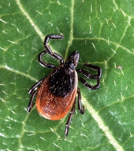 Lyme Disease pictured Deer Ticks