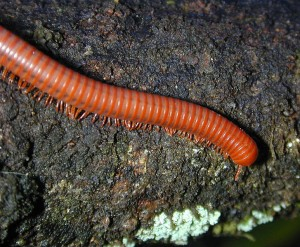 Common Millipede