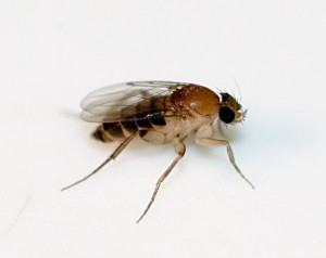 Phorid Fly or Coffin Fly
