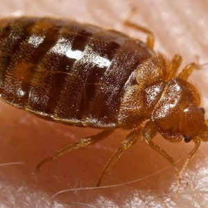 """Bed bug, Cimex lectularius"" by Content Providers(s): CDC/ Harvard University, Dr. Gary Alpert; Dr. Harold Harlan; Richard Pollack. Photo Credit: Piotr Naskrecki - http://phil.cdc.gov/phil. Licensed under Public Domain via Commons - https://commons.wikimedia.org/wiki/File:Bed_bug,_Cimex_lectularius.jpg#/media/File:Bed_bug,_Cimex_lectularius.jpg"