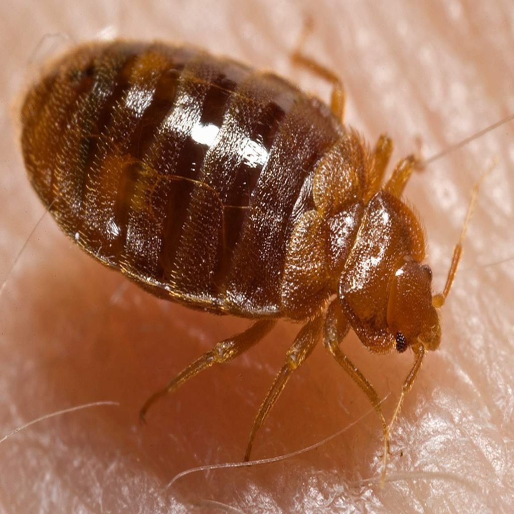 Bed Bug Archives - Home of Absolute Pest Control