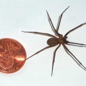 Brown-recluse-coin-edit
