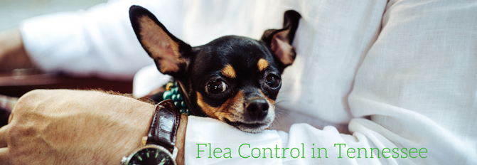 Fleas and Flea Control in Tennessee