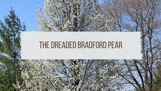 The Dreaded Bradford Pear in Tennessee