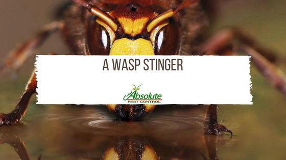 A Wasp Stinger