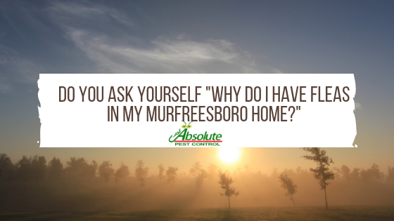 Why Do I Have Fleas In My Murfreesboro Home?