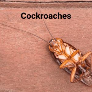 Dead cockroach picture