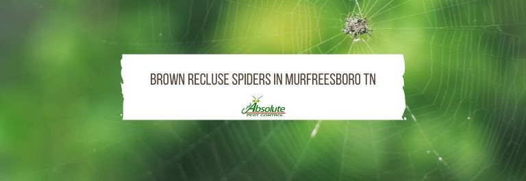 Brown Recluse Spiders in Murfreesboro TN